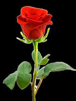 png-rose-7